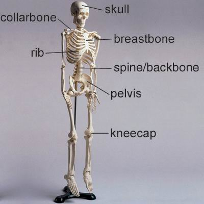 单词:backbone的图片解释
