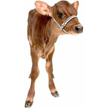 单词:calf的图片解释