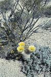 单词:cactus的图片解释