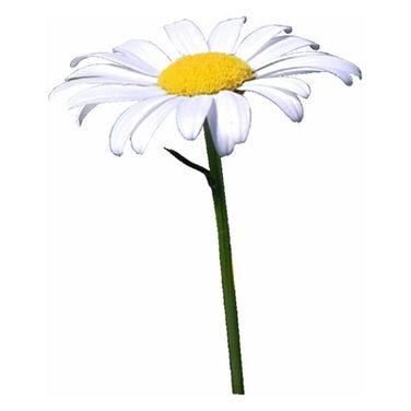单词:daisy的图片解释