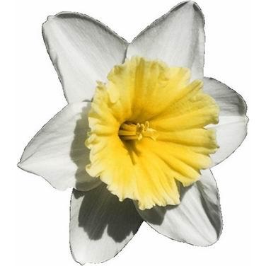 单词:daffodil的图片解释
